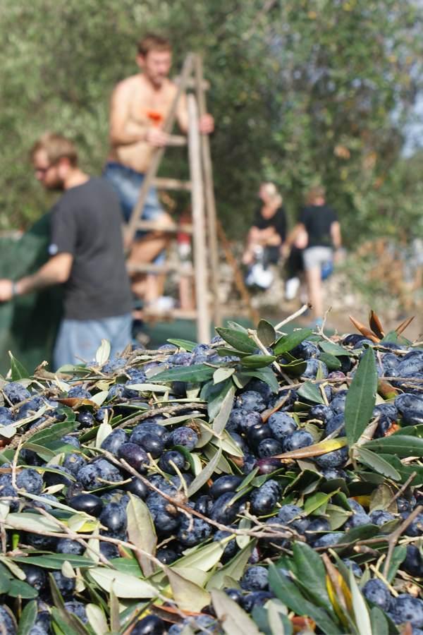 raccolta olive masseria melcarne