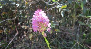 orchidea parco del rauccio